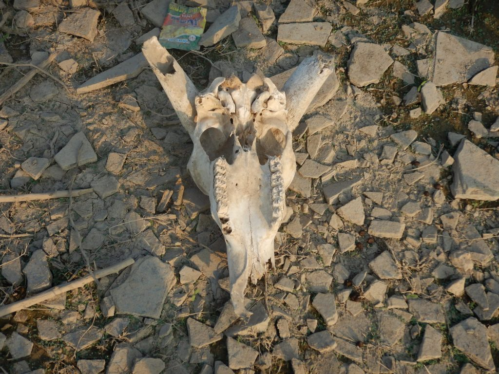 A cattle skull at Ghost Town near Bangalore