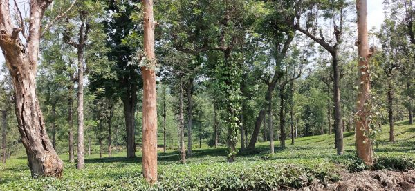 plantation view at priyadarshini tea environs